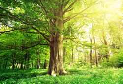Beech forest with a old tree in the sunlight