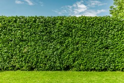 Beech hedge after a hedge trimming in summer