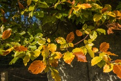 Beech in early autumn colours at Woodend, East Lothian, Scotland.