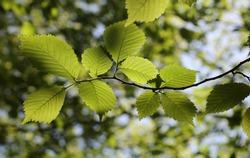 Beech leaves in woodland at Haresfield Beacon, Gloucestershire, United Kingdom