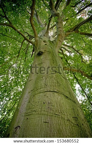 Beech tree in the forest