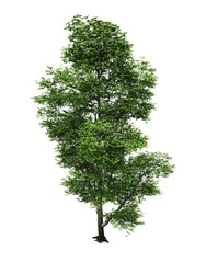 beech tree isolated white background