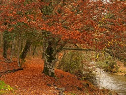 Beech trees along the path of the Jarama River, Hayedo de Montejo. Madrid Spain