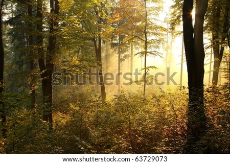 Beech trees backlit by the rising sun in the misty autumnal forest on the slope in a nature reserve.