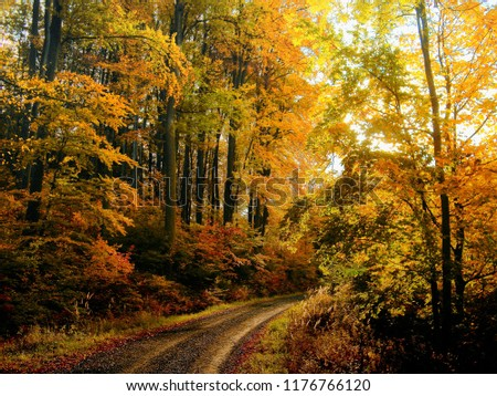 Beech trees forest at autumn / fall daylight, gravel road, colorful broad leaf foliage.Magical atmosphere.