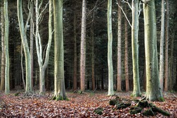 Beech trees in a line.