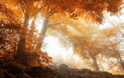 Beech trees in a scenic misty forest in autumn, with soft light and warm vibrant colors