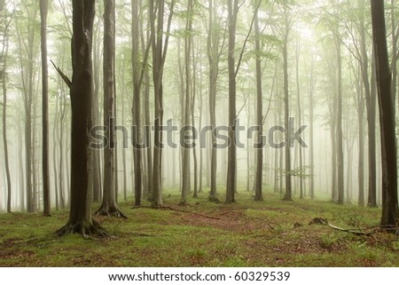 Beech trees in the forest on a mountain slope on a foggy rainy day.