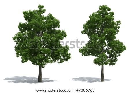 Beech trees isolated on white background