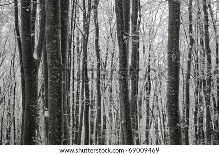 Beech winter forest