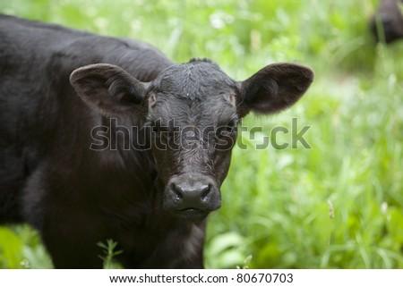 Beef Calf at Pasture