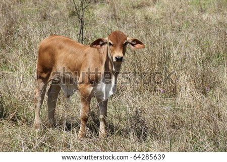 beef cattle australia standing in dry outback grass