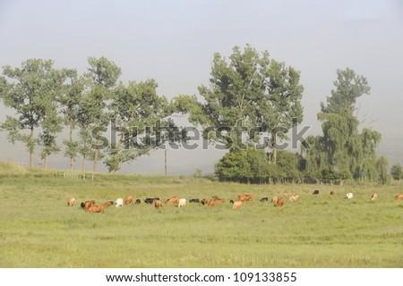 Beef cattle graze in a pasture in the drakensberg foothills,Underberg,Kwazulu Natal, South Africa