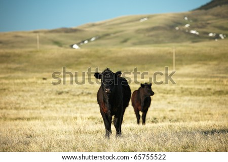 Beef cattle grazing on the wide open plains.