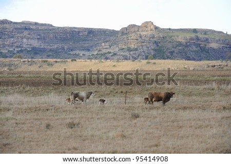 beef cattle on a free state ranch, rustlers valley, ficksburg, south africa
