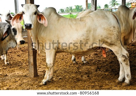Beef cattle Thailand standing in stall