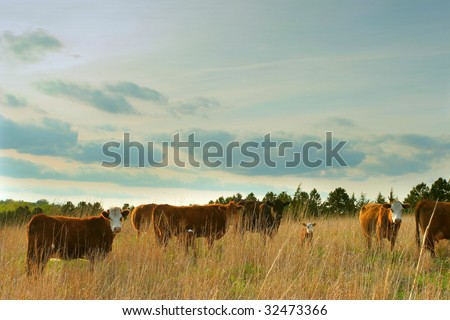 beef cows and calves in Nebraska field - stock photo