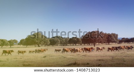 Beef cows grazing in the pastures of Spain #1408713023