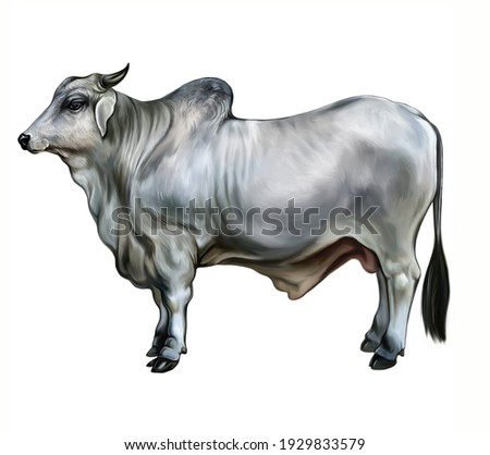Beef Indicus (Bos Taurus Indicus), realistic drawing, illustration for the encyclopedia of animals of Africa, India, Brazil, sacred animal of Madagascar, isolated image on a white background Stockfoto ©