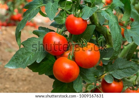 Beef tomato . It is suitable for all types of production systems, including protected culture and open field, and is early maturing. The fruit is round in shape and has good quality . #1009167631