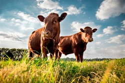 Beefmaster cattle standing in a green field