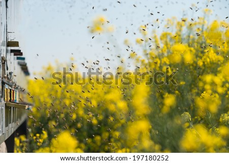 beehives at oilseed rape fields and many bee flying in the air