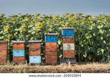 beehives in a field of sunflowers