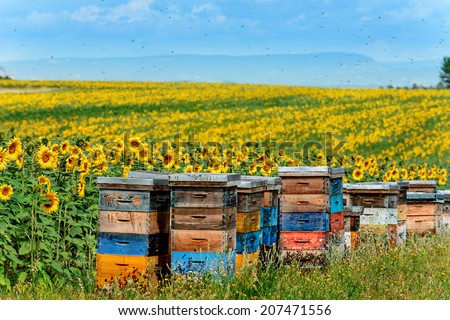 beehives in corner of sunflower field