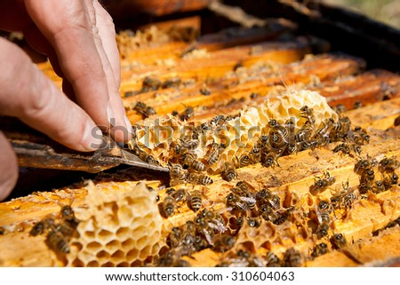 Beekeeper checking a beehive to ensure health of the bee colony or collecting honey.