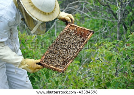 Beekeeper checking a frame of honey bees from the hive
