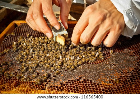 Beekeeper introducing a new queen bee in an introduction cage