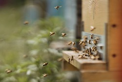 Beekeeping, beekeeper at work, bees in flight