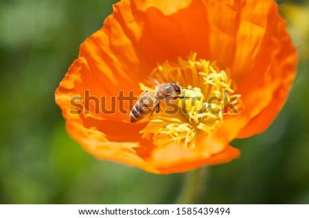 Been on an Orange Poppy Flower