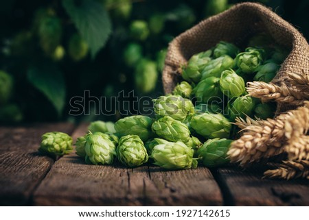 Beer brewing ingredients, hops, and wheat ears on a wooden cracked old table in front of hops plantation. Beer brewery concept. Wheat ears and hop cones in the linen sack in the foreground. Сток-фото ©