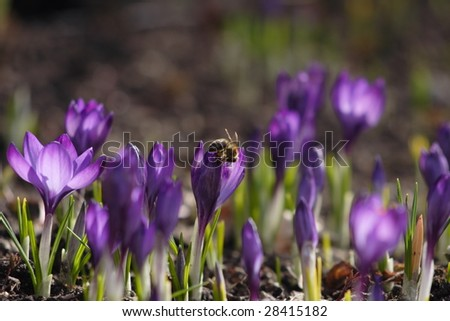 Bees above purple crocuses in the early spring