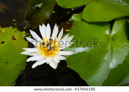 Bees and lotus flowers eating bee pollen ez canvas bees and lotus flowers eating bee pollen mightylinksfo