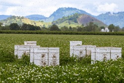Bees and stacks of white beehives in a clover field near Albany in the Willamette Valley of Oregon.