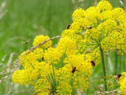 Bees buzzing around a yellow flower