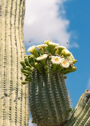 Bees buzzing around the blossoming flowers of a saguaro cactus
