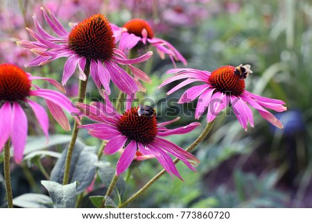 Bees collecting pollen on purple coneflowers