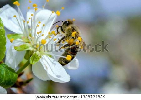 bees collects pollen from flowers Stock photo ©