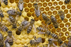 Bees convert nectar into honey and close it in the honeycomb, and care for the larvae