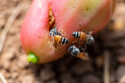 Bees Eating Rotten Fruit On The Ground