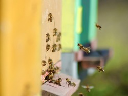 Bees flying entering honeycomb in spring
