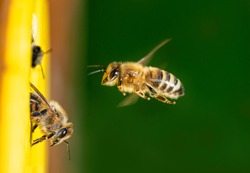 bees flying to the hive - bee breeding (Apis mellifera)