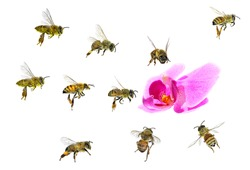Bees flying to to the orchid flower isolated on a white background