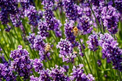 Bees in the lavender field
