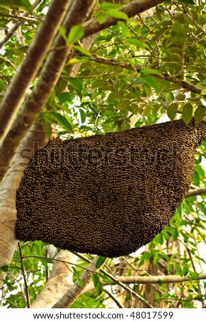 Bees Nest Hanging Down From Tree Limb Covered with Bees