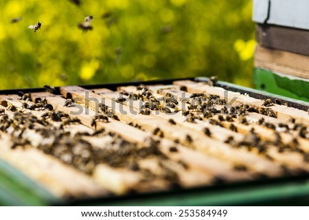 bees on honeycomb in a beehive. Honeybees are a genus of the family of the Real bees