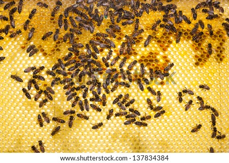 Bees on honeycomb in beehive working and collecting pollen and honey